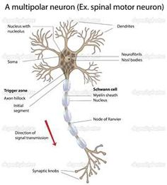Spine anatomy anatomy of the human spine complete with neuron with nissl body ccuart Images