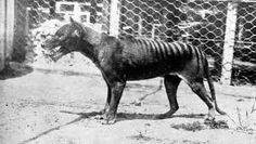 Image result for thylacine hopping