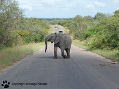 Young elephant on the road 2 Kruger National Park, National Parks, View Photos, Safari, Elephant, Animals, Animales, Animaux, Elephants