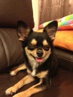 Chihuahua with a smile.