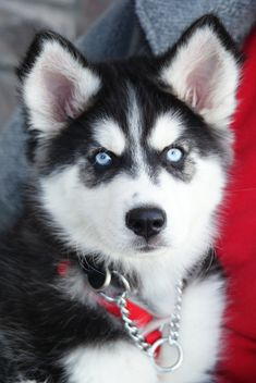 omg husky puppies = cutest little hellions ever! :)sdvhk g oo Beautiful Dogs, Animals Beautiful, Cute Animals, Siberian Husky Puppies, Husky Puppy, Siberian Huskies, Cute Puppies, Dogs And Puppies, Teacup Puppies