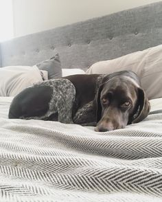 German Shorthaired Pointer ~ Classic Look
