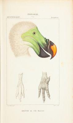 illustration | dronte de l'ile maurice.