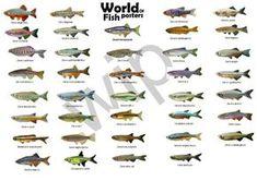 Danio - Galeria de Peixes de Água Doce - Galeria de Imagens - Aquariofilia.net