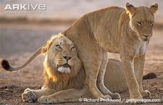 African lioness flirting with male