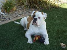 My beautiful big boy - American Bulldog
