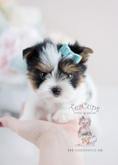 Teacup Puppies Biewer Yorkie Puppy For Sale #075