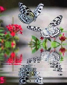 Black & White Butterfly reflection