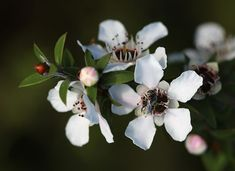 The Manuka flower blooms on the Manuka tree (Leptospermum scoparium). The Manuka tree is a shrub or small tree native to New Zealand and southeast Australia. Manuka honey is derived by bees that collect nectar from the Manuka flower.