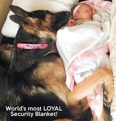 This is just entirely too cute not to share! World's most loyal security blanket...#GermanShepherd #dogs #doglovers