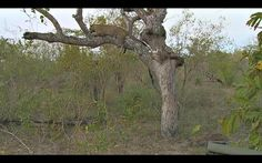 Q male in tree where hyena are trying to get his meal.  Sunset drive, May 8, 2015