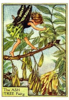 Illustration for the Ash Tree Fairy from Flower Fairies of the Trees. A girl fairy dances from left to right along the branch of an ash tree. The tree is covered with seeds. Author / Illustrator Cicely Mary Barker More Más Cicely Mary Barker, Tree Illustration, Fantasy Illustration, Fairy Names, Ash Tree, Fairy Pictures, Cross Stitch Tree, Vintage Fairies, Beautiful Fairies