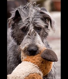 "A 9-month old Irish Wolfhound with his huge toy!!  Love the ""all over the place"" ears!!  All images copyright © Mia Lewis Images. All Rights Reserved. Please contact me through flickr or at My Website if you are interested in using any of my images."