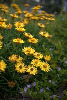 My Favourite Paper Daisy: Bracteantha 'Diamond Head' - Mallee Design...