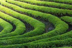 Green Tea Farm in Korea by jck6905 via http://ift.tt/2qIiYA2