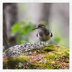 A common sandpiper Bird, Animals, Animales, Animaux, Birds, Animal, Animais