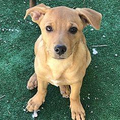 Chihuahuas For Adoption, Pet Adoption, Foster To Adopt, The Fosters, Labrador Retriever, Safari, Dog Cat, Pets, Animals