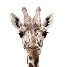 giraffa camelopardalis.... carina carina ( per  me le giraffe sono tutte femmine)