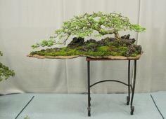 hawthorn bonsai at 2012 Wesex bonsai show