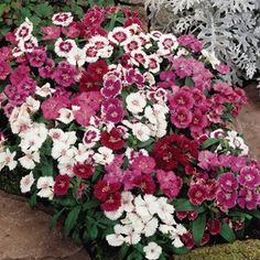 Type: Annual Light: Part shade Plant spacing: 8 to 12 inches apart Plant height: 8 to 10 inches tall Among the. Dianthus Flowers, Flowers Perennials, Planting Flowers, Container Plants, Container Gardening, Gardening Tips, Love Garden, Garden Pots, Garden Ideas