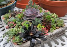 Look for succulents at your garden center.
