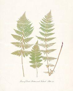 Vintage Fern Botanical Illustration  Ferns of by HighStreetVintage,