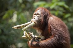 Orangutan - Orangutan in Kalimantan, Indonesia. This action is somewhat reminiscent of the panic buying taking place in many countries. Orangutan, Countries, Action, Animals, Group Action, Animales, Animaux, Animal, Animais