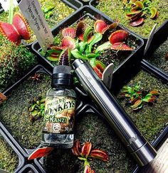 Get caught by the sweetness of our flavours  ft. Kanzi | Picture cred: @flavour_of_vapour |  #tribe12m #12monkeysvapor #vapefam ______________________________  High VG Gourmet e-liquid from Canada  Lab Tested  http://ift.tt/1ElC6Bl  ______________________________  #vapelyfe #instavaperz #vapeunity #vapenation #ukvaper #calivapers #cloudchasing #cloudchaser #ejuice #eliquid #instavape #vaping #vapes #vapenation #vapelove #vapestagram #vapelife #vapelife #improof #instavape #igdaily…