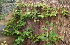 Japanse wijnbes, Rubus Phoenicolasius; juni '16