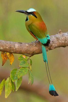 Turquoise-browed motmot Birds