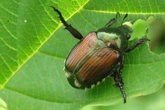 Helping Your Plants w/a Neem Oil Foliar Spray (as both a Fungicide and an Insecticide) Killing Japanese Beetles, Betula Pendula, Hydrangea Quercifolia, Bucket Gardening, Mosquito Trap, Talc, Insect Pest, Neem Oil, Garden Pests