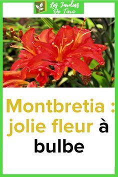Montbretia: jolie fleur à bulbe