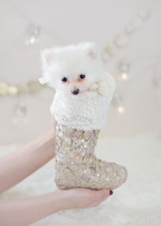 Christmas Puppy: Gorgeous Pomeranian Puppy by TeaCupsPuppies.com  #pomeranian #puppy #puppies #teacuppomeranian #teacuppuppies