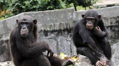 A chimpanzee holds a lettuce at the zoo in Abidjan on June 12, 2014
