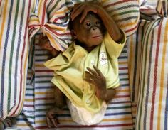 Baby Orangutan! | Cute Animals