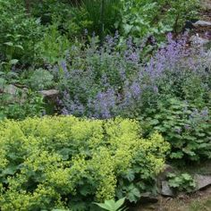 July in the Perennial Garden | Catmint and Lady's Mantle, Posted June 30, 2014  by  Reeser Manley