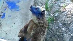 Nechutný útok na medveďa v ZOO ! Do tváre mu šplechli modrú farbu, pravdepodobne oslepne... Viac na http://tvnoviny.sk/sekcia/zahranicne/archiv/utok-na-medveda-v-zoo-kto-mu-tvare-splechol-modru-farbu.html (Foto: youtube.com)