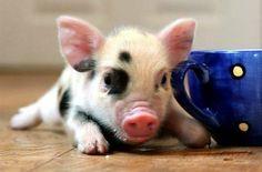 Cute Animals / Spotted Piggy