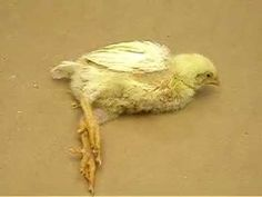Clinical Signs of Avian Encephalomyelitis