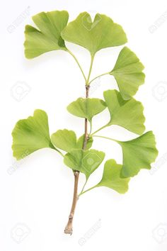 branch of a Ginkgo tree with green leaves Stock Photo Leave In, Botanical Line Drawing, Botanical Prints, Plant Illustration, Botanical Illustration, Tree Leaves, Plant Leaves, Ikebana, Ginko Tree