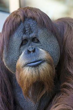 Orangutan ~ San Dieg