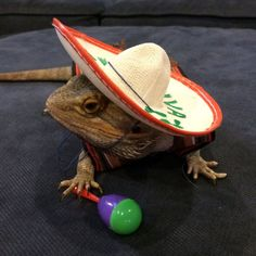 mexican fiesta costume for bearded dragons two by