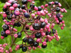 Delicious, abundant wild blue berries