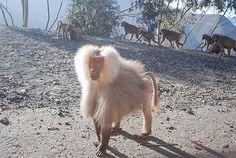 Baboons north of Asmara...Eritrea
