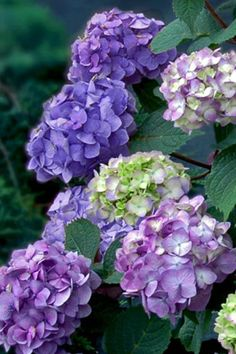 The BloomStruck Hydrangea is newest addition to the Endless Summer collection of Hydrangeas. The Bloomstruck Hydrangea has a neat mounding growth habit of dark green foliage that will reach 3 to across with a spread of 4 to Hydrangea Care, Hydrangea Macrophylla, Growing Hydrangea, Hydrangea Plant, Hydrangea Painting, Hydrangeas, Bloomstruck Hydrangea, Easy To Grow Houseplants, Gardens