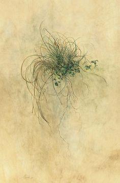 Kate Nessler, Bluff Dweller ( Carex eburnea), Watercolour on vellum, 17 x 11ins (43.18 x 27.94cm)