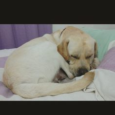 Bom dia aumigos!  Aqui esta frio e chovendo muito clima ótimo pra nanar!  #Harry #Labrador #Retriever #filhotes #cachorro #dog #Instadog #instaharry #instapet #dogslovers #puppy #pup #doggie #pet #lab #yellowlab #golden #talesofalab #babydog #loveanimals #labragram #laboftheday #worldoflabs #photo #instagram #today #mylove #mylife #morning #sleep by labradorrharry