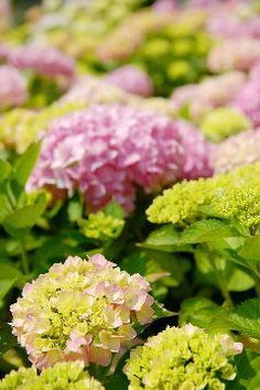 Hydrangeas are invaluable garden shrubs as they possess the ability to combine structure, colour and interest within one plant, filling their growing space with bountiful beauty.