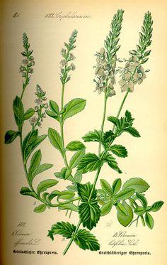 Speedwell Tea - Veronica officinalis