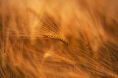https://flic.kr/p/UV71jf | Golden wheat | wheat Weizen Korn Weizenfeld Getreide grain golden gelb yellow harvest ernte ähre ear